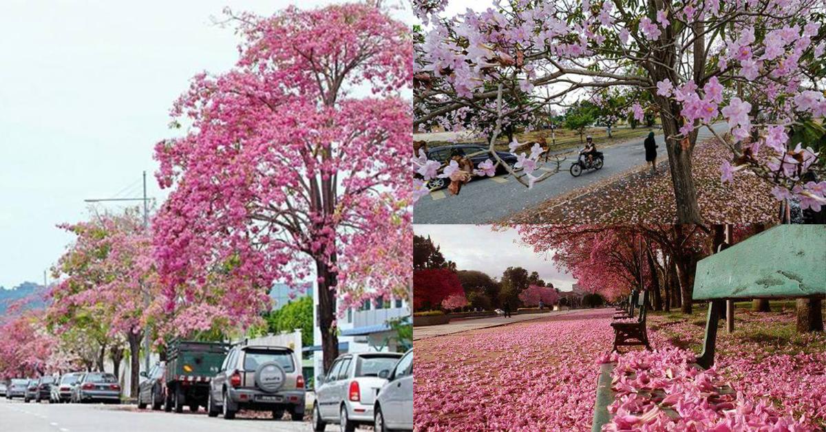 Musim Bunga Sakura Tiba Lagi Di Malaysia!