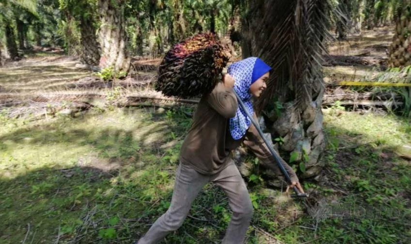 Syazwani kerja angkat buah kelapa sawit bukan masalah